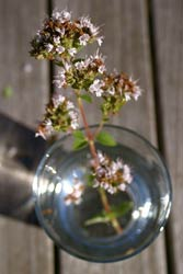 Oregano in glass